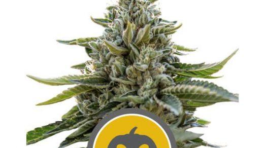 Pumpkin Kush Regular Seeds - 10