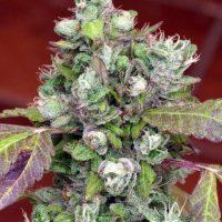 Pure Kush Cookies Feminised Seeds - 6
