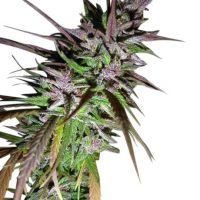 Purple Pakistani Haze Feminised Seeds (Limited Edition) - 5