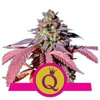 Purple Queen Feminised