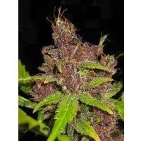 Purple mazar fem