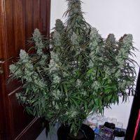 Quick Flowering THC