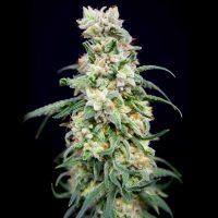 Rainbow Barb Feminised Seeds - 6