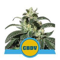 Royal CBDV Auto Feminised Seeds