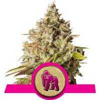 Royal Gorilla Feminised Seeds