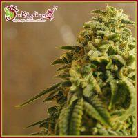 Sherbert Gorilla Feminised Seeds