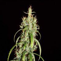 Chebarkul Siberian Ruderalis CBD Auto Regular Seeds - 12