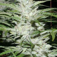 Snowfire Isis Kush Regular Seeds - 12