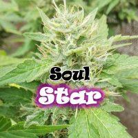 Soul Star Feminised Seeds
