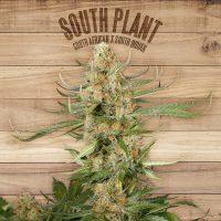 South Plant Feminised