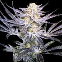 Strawberry Fields Regular Seeds (Crockett Family Farms) - 12