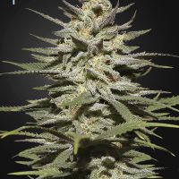 Super Lemon Haze CBD Feminised Seeds