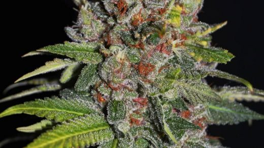 Tropical Punch Feminised Seeds - 5