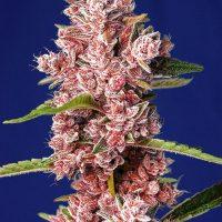 Tropicanna Poison F1 FAST Feminised Seeds