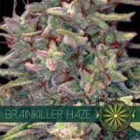 Brainkiller Haze Feminised