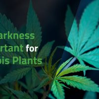 Why Darkness is Important for Cannabis Plants   Americover