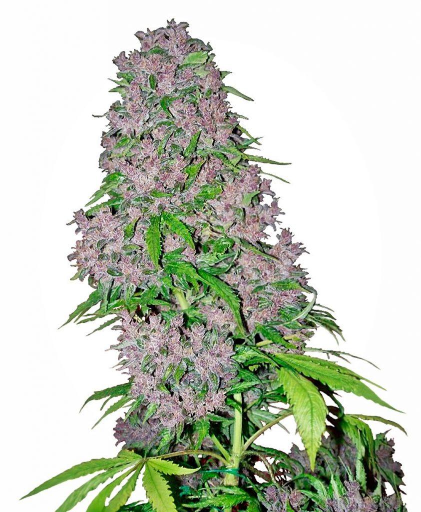 Purple Bud Feminised