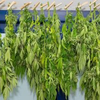 An overview of the cannabis drying and curing process