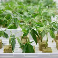 How to clone a cannabis plant   Weedmaps
