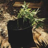 How To Perform Low Stress Training On Cannabis For Better Yields - RQS Blog