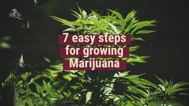 The 7 Easy Steps Of Growing Cannabis - Royal Queen Seeds