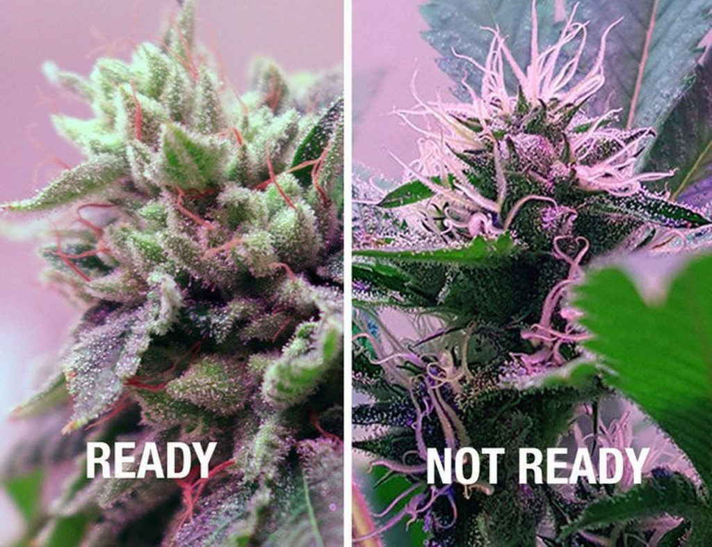 The Oregonian has created a new strain of marijuana. All about the indoor  harvest.   Pot Grow Diary (Day 200) - oregonlive.com