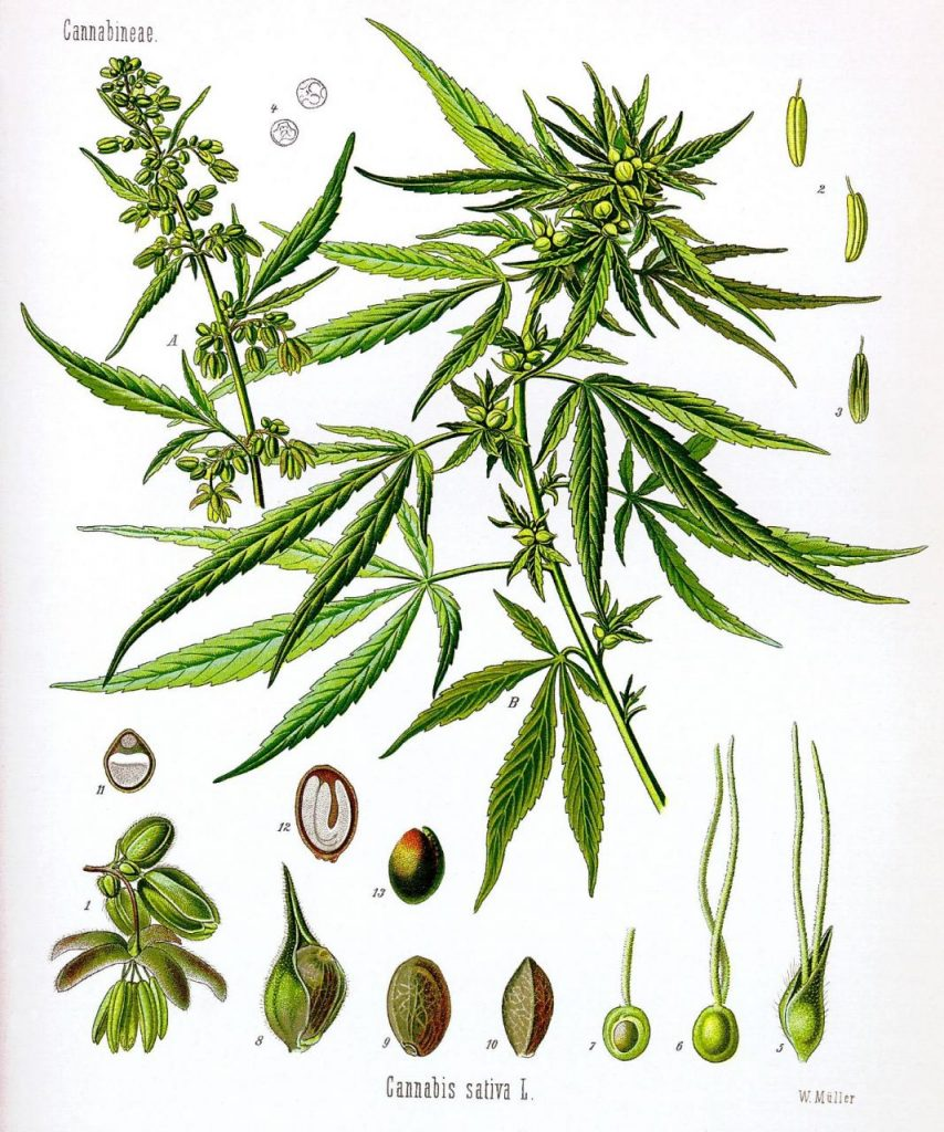 Why was Marijuana Made Illegal in the First Place? -part I | by Edward  Dodge | Medium