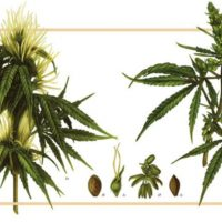 Pheno hunting, Breeding and the Outrageous Diversity of Cannabis - Phylos  Bioscience