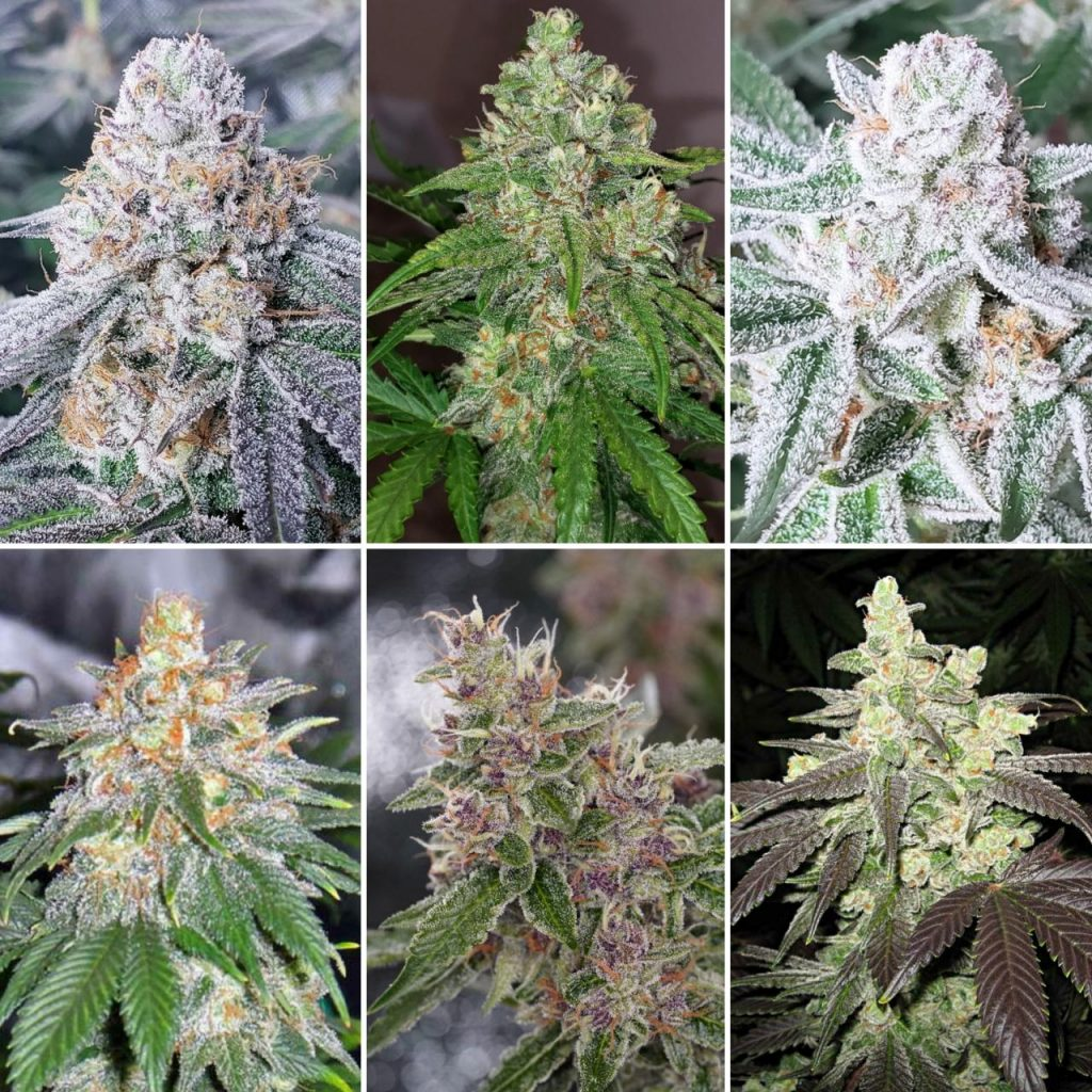 When is the Best Time to Harvest Marijuana Buds?   Grow Weed Easy