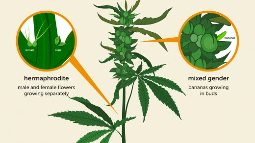 What Is Hermaphrodite Cannabis - GrowDiaries