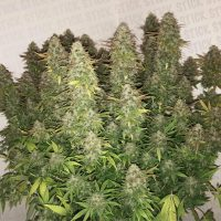What Is The Best Time To Harvest Cannabis? - GrowDiaries