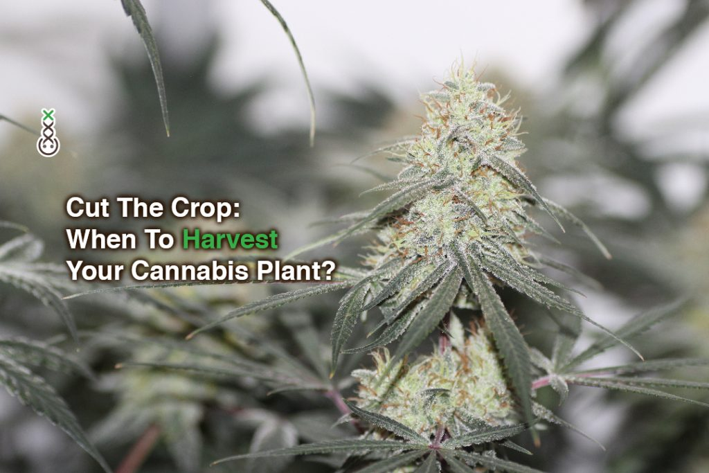 Cut The Crop: When To Harvest Your Cannabis Plant?
