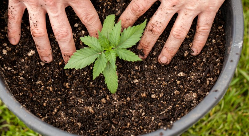How easy is it to grow cannabis at home? - Macleans.ca