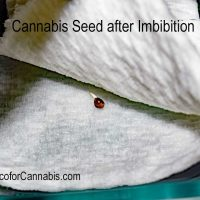 Germinating Cannabis Seeds - A Step by Step Guide - Coco For Cannabis