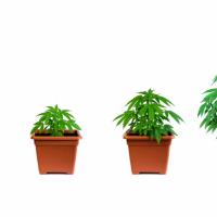 How Long To Veg Cannabis — Seedling, Flowering & Cloning