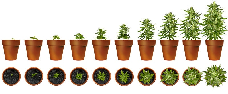 How To Grow Weed: The Organic Way Like The Pros