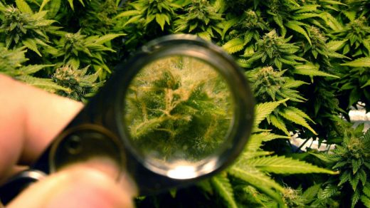 When to Harvest: Trich Colour, Loups, and Microscopes - MSNL Blog