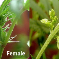 Male and Female Cannabis Plants - New Normal 420