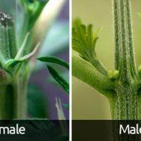 How soon can you tell the sex of a cannabis plant? - Grobo