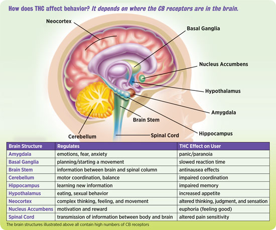 The Science of Marijuana: How THC Affects the Brain | Scholastic: Nida