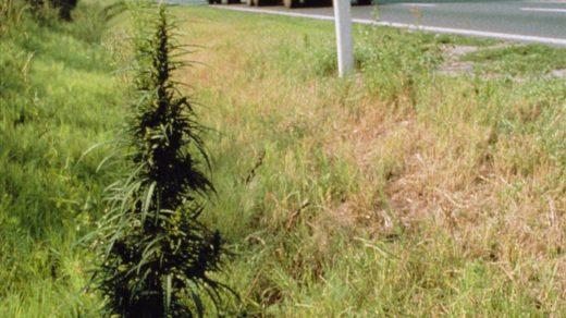 Cannabis Ruderalis - Hash Marihuana & Hemp Museum