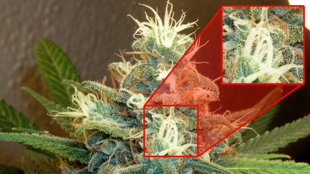 When and How to Harvest Weed   When Is Weed Ready To Harvest