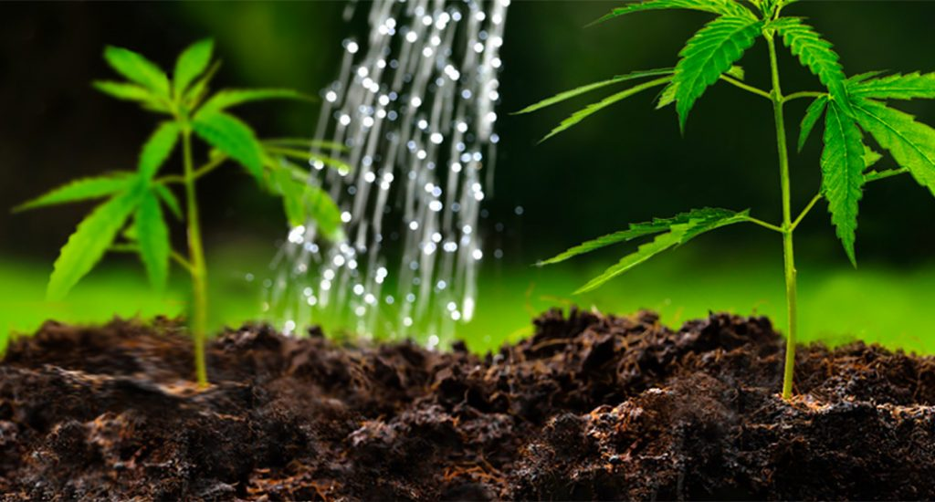 When Is The Right Time To Water Cannabis Plants? - GrowDiaries