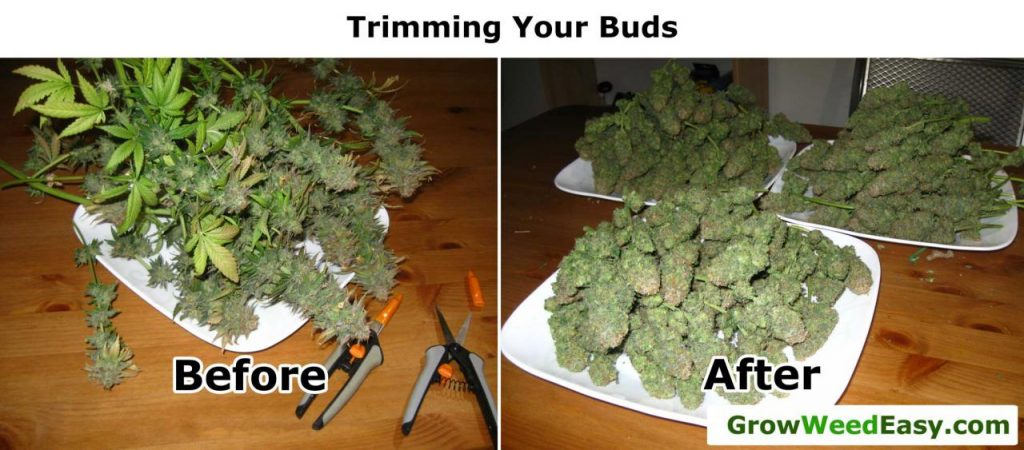 Original Guide to Drying and Curing Marijuana Buds | Grow Weed Easy
