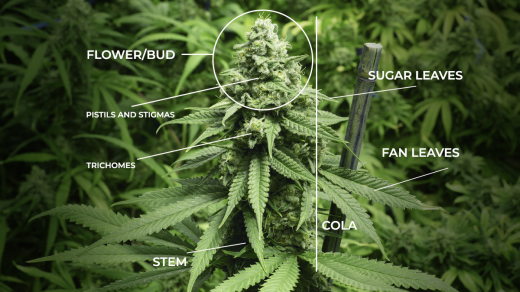 Cannabis Plants Anatomy: From Seeds To Buds | Fast Buds
