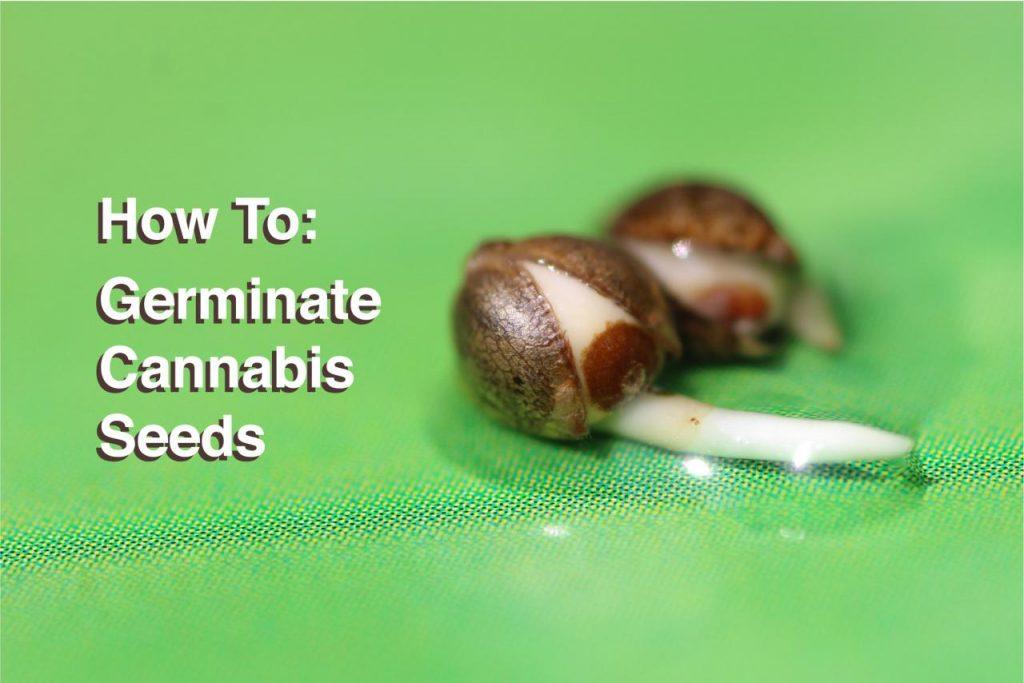 How To Germinate Cannabis Seeds - Amsterdam Genetics
