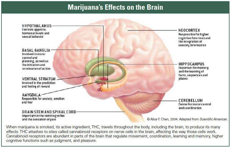 How does marijuana produce its effects? | National Institute on Drug Abuse  (NIDA)