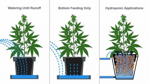 How Often Should I Water My Cannabis Plants? | Fast Buds