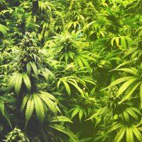 Flavor Marijuana: Enhancing Terpene Production During Your Grow – True Blue