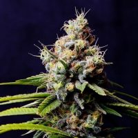 To Flush or Not to Flush in Cannabis Cultivation - Cannabis Business Times